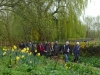 Daffodils and walkers